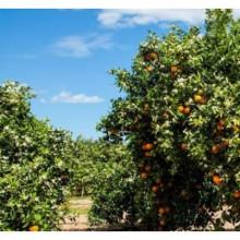 10kg Naranjas Sin Seleccionar y 5kg gratis